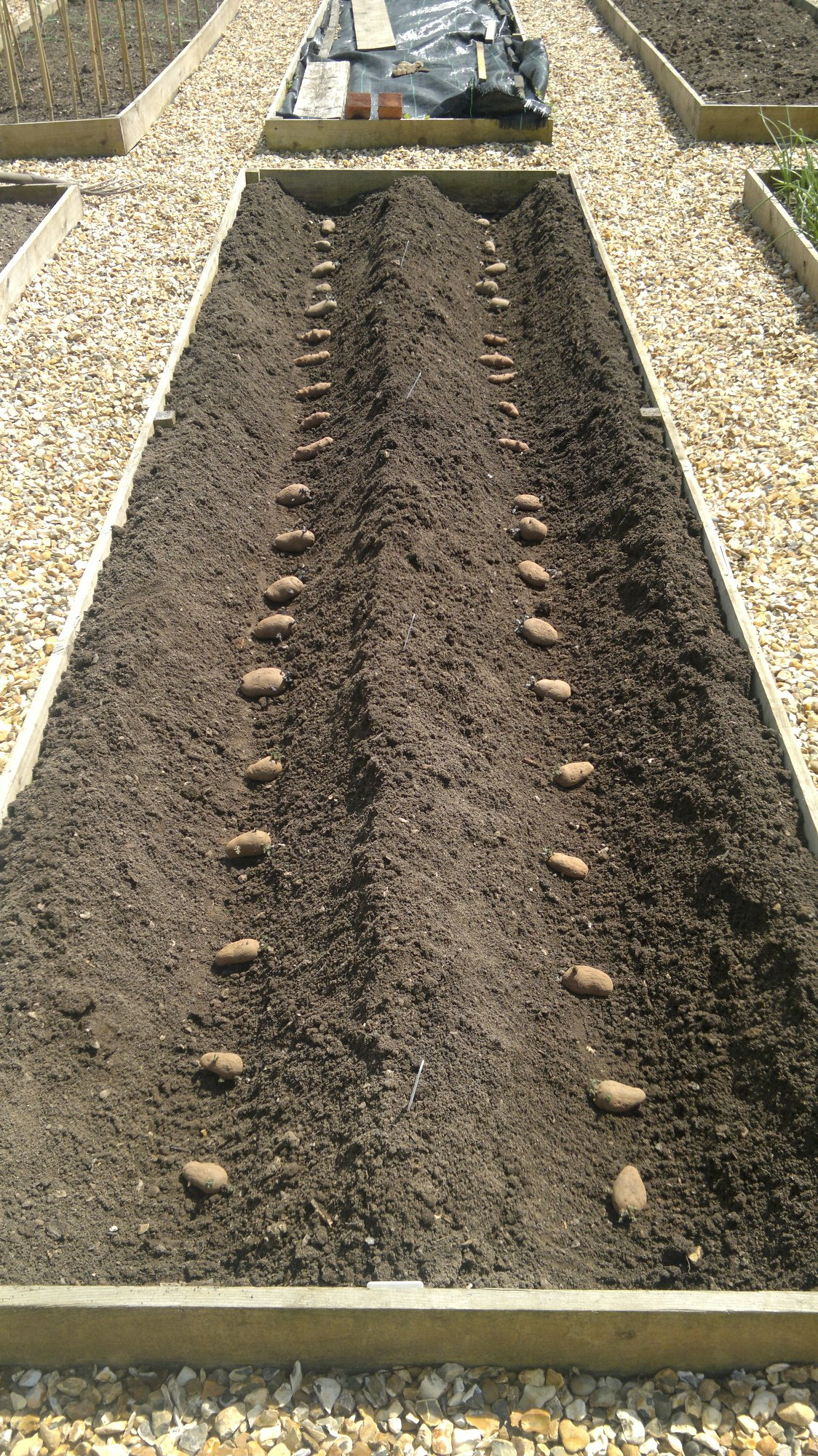 Potato bed prepared for planting