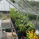 Our first glasshouse, now used for propagation in the spring and as the 'chilli house' for the rest of the year