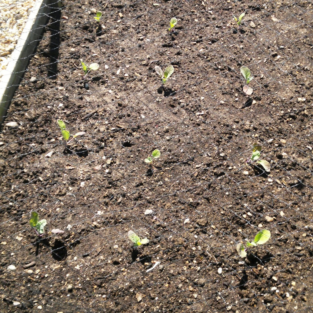 Swede seedlings planted out