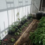 Newly planted fig trees and vine, still in the pot, ready to be planted in the border