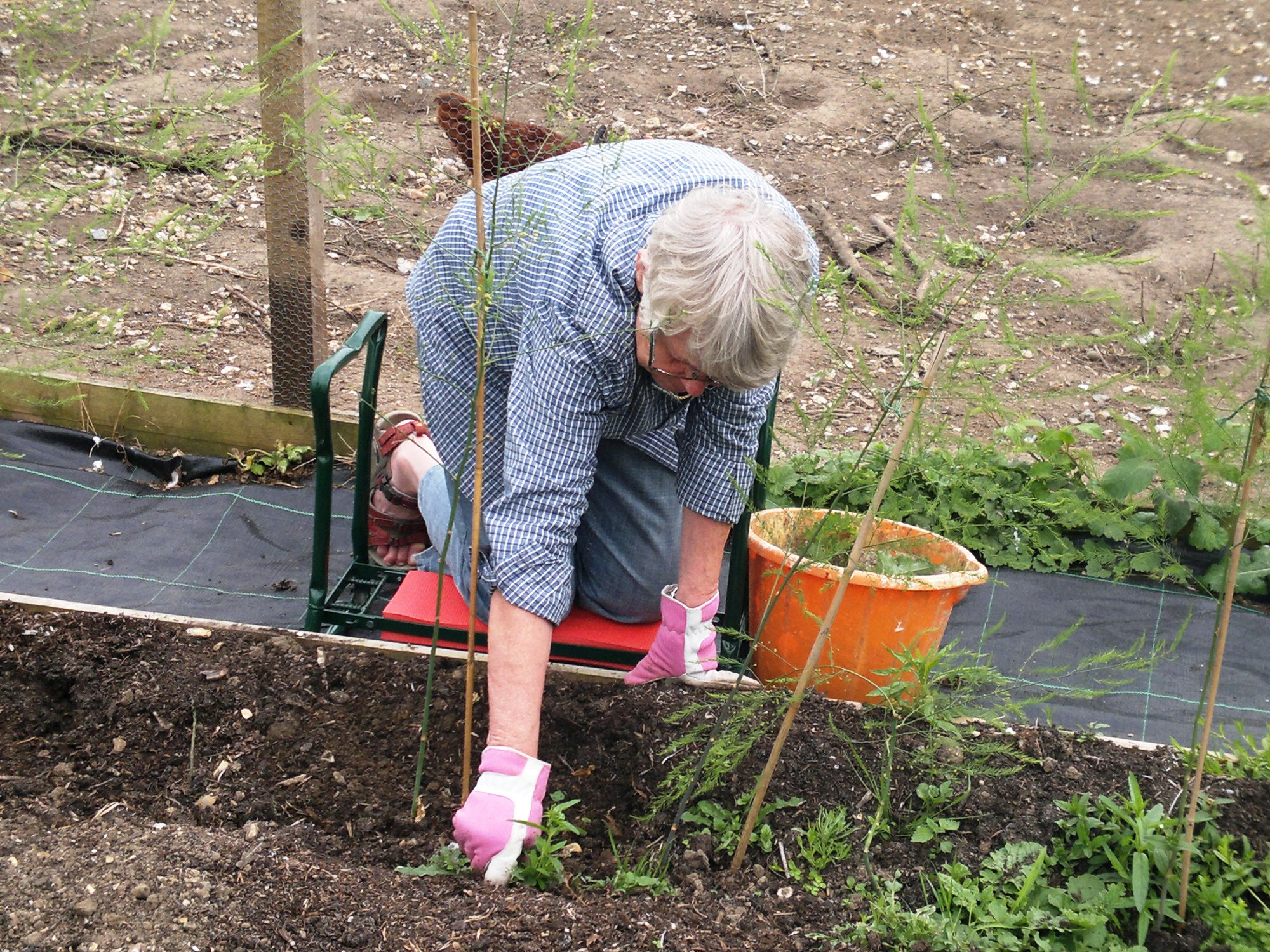 Riitta weeding the asparagus bed