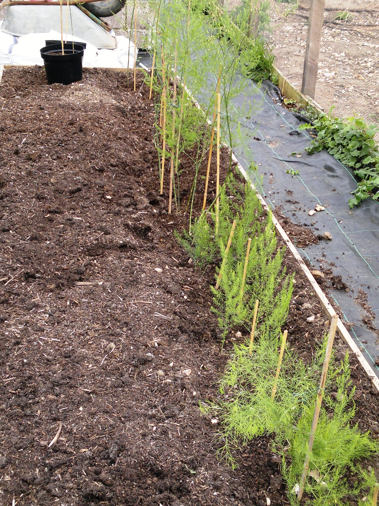 Half planted asparagus bed