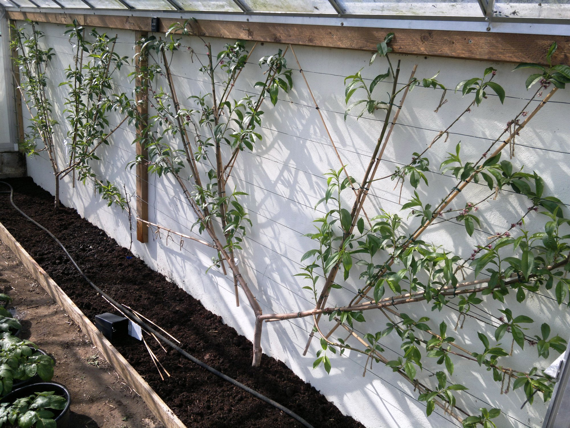 Peach trees in early stages of fan training