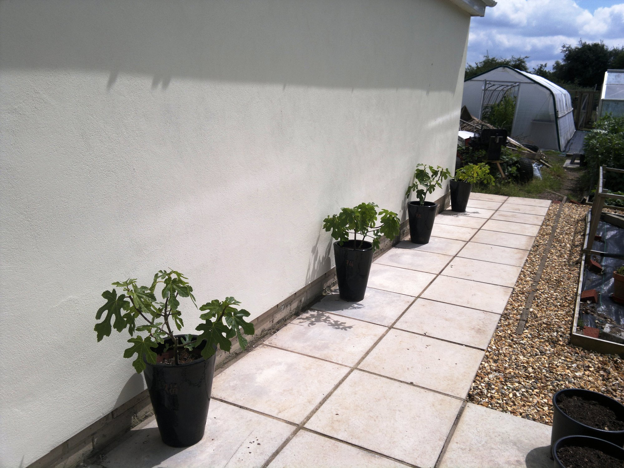 Small fig trees along the garage wall