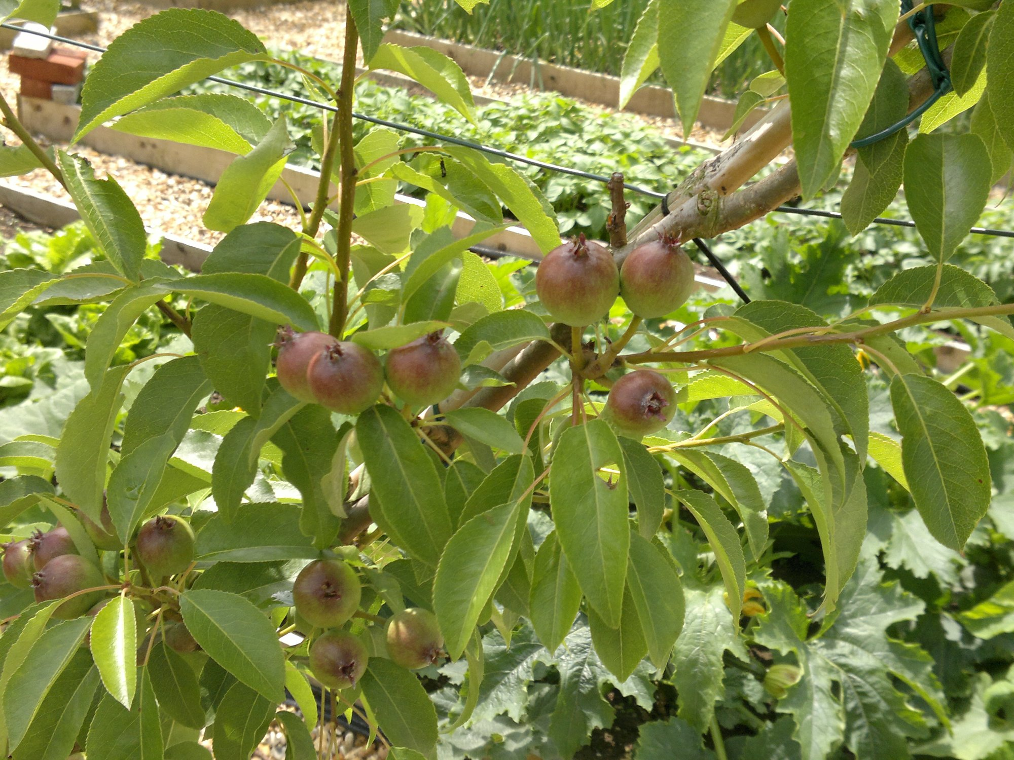 Early pears developing