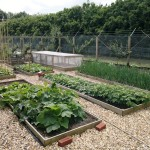 Main vegetable beds planted with summer squash, potatoes, onions, beans and peas, swede, etc.