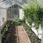 Peach trees in need of pruning, cucumbers and melons opposite