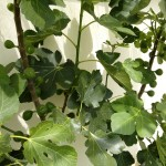 A good crop of fig Brogiotto Bianco