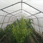 Inside the polytunnel; peach tree in the foreground, with sweetcorn behind