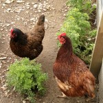 A Barnevelder, left, and Rhode Island Red, right