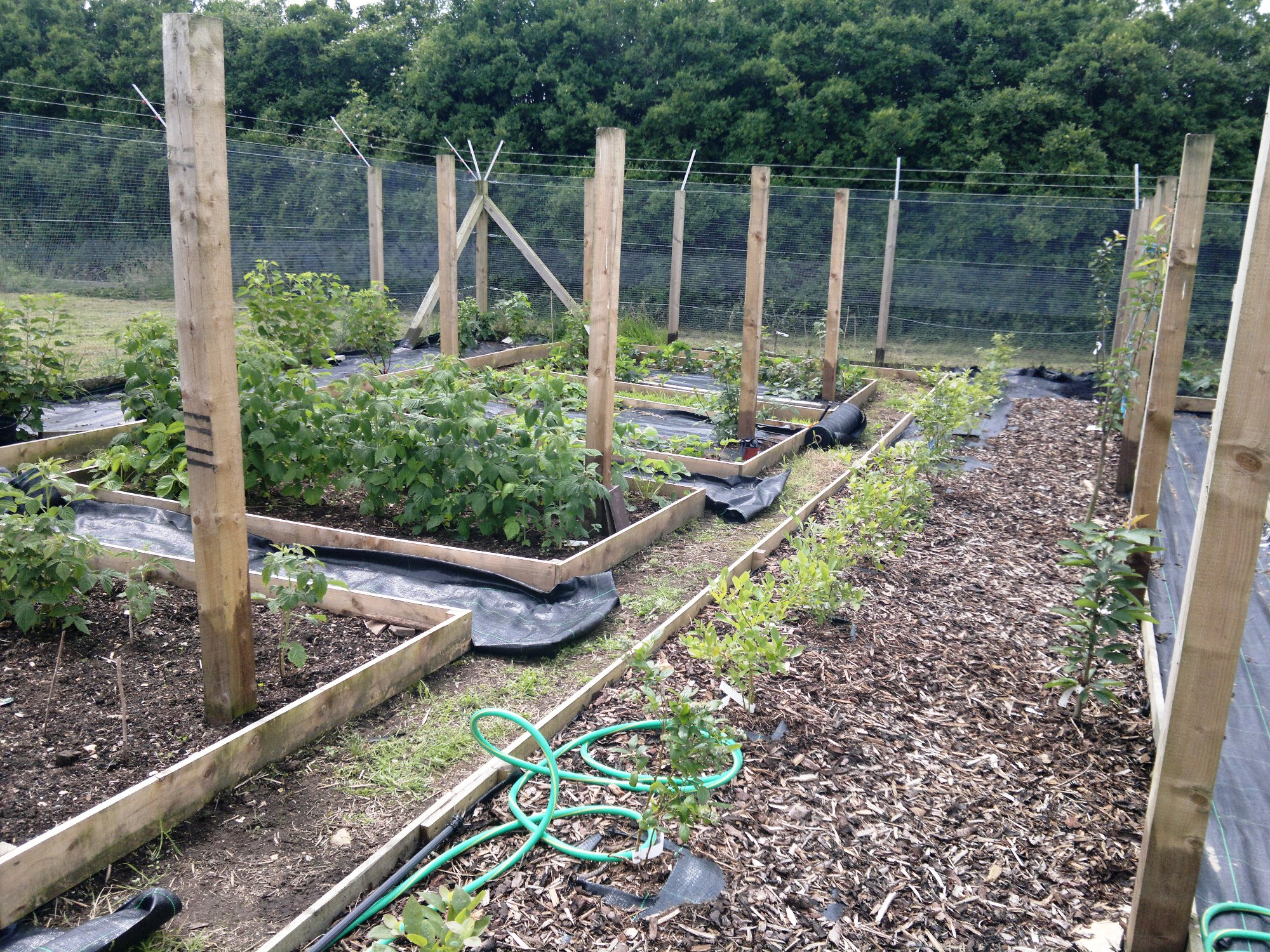 Fruit cage, with row of  blueberries, right
