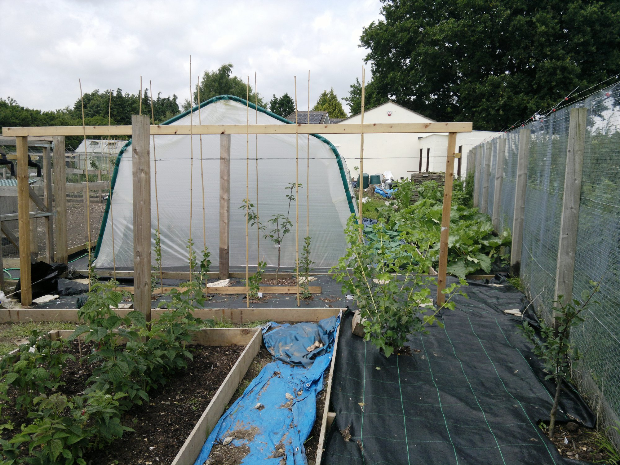 Gooseberries being trained as double cordons, a jostaberry, and a view of the perennial bed on the right