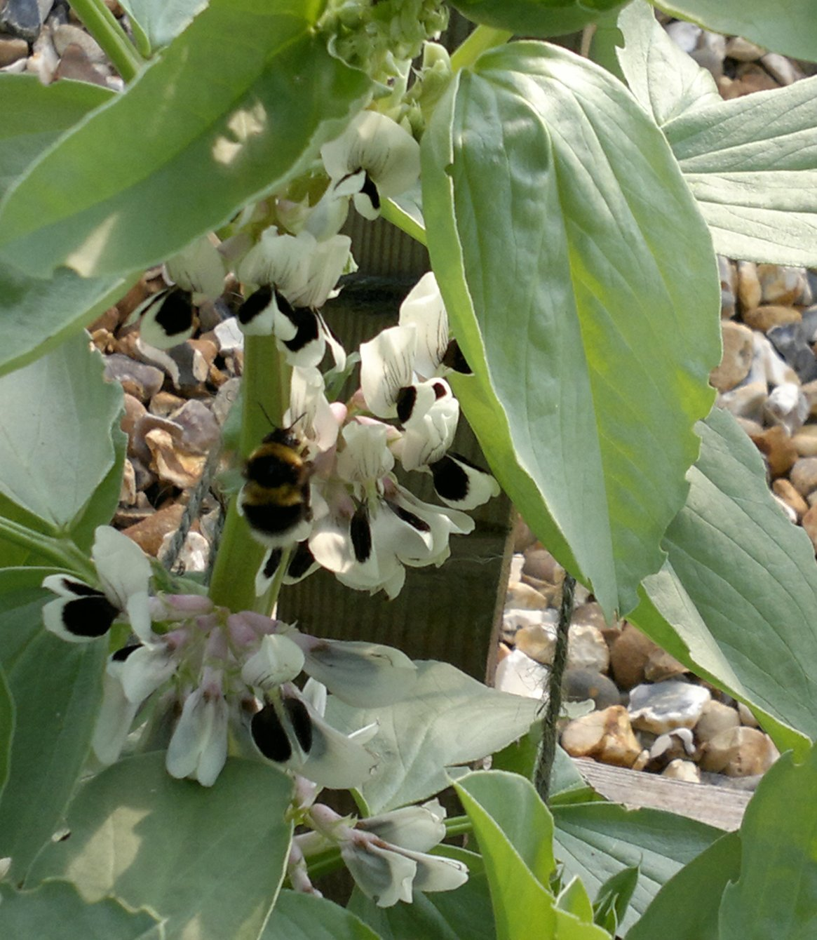 Bumblebee busy pollinating the broad beans