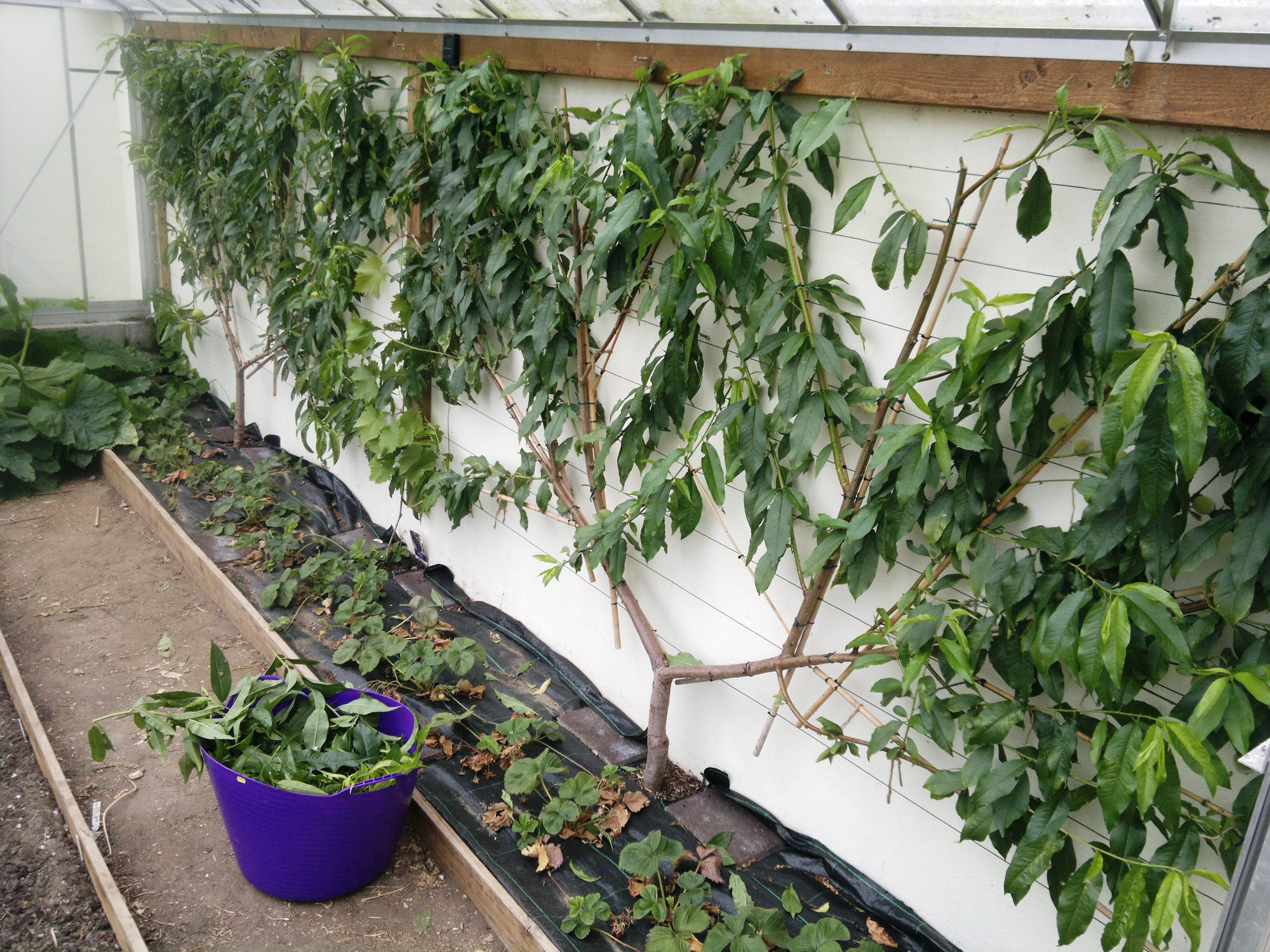 Peaches after pruning