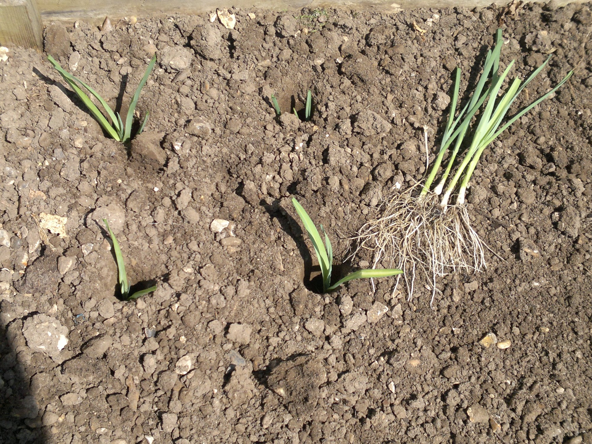 Leeks being transplanted