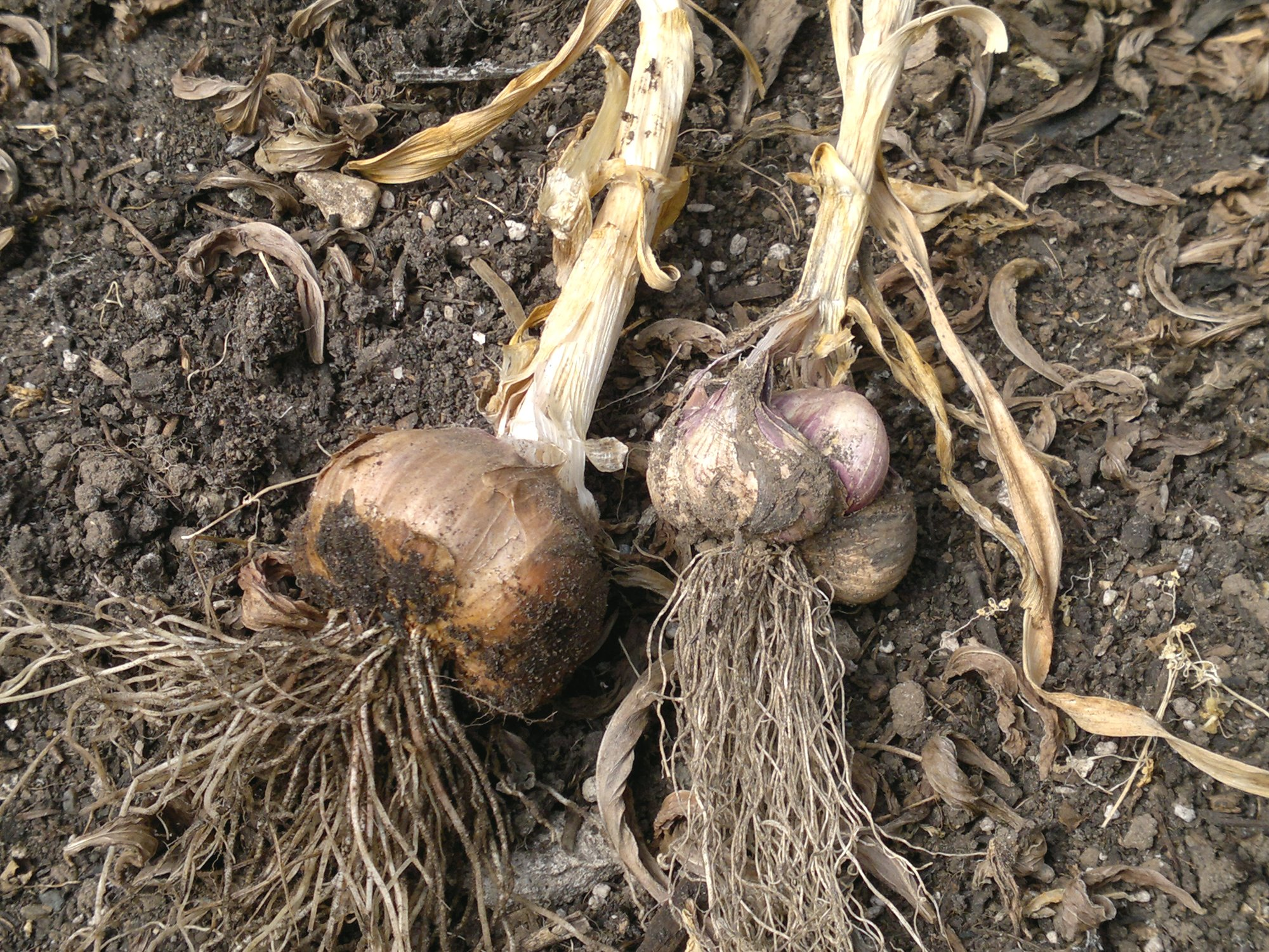 Early Purple Wight, showing one fully formed bulb on the left, and a somewhat malformed bulb on the right