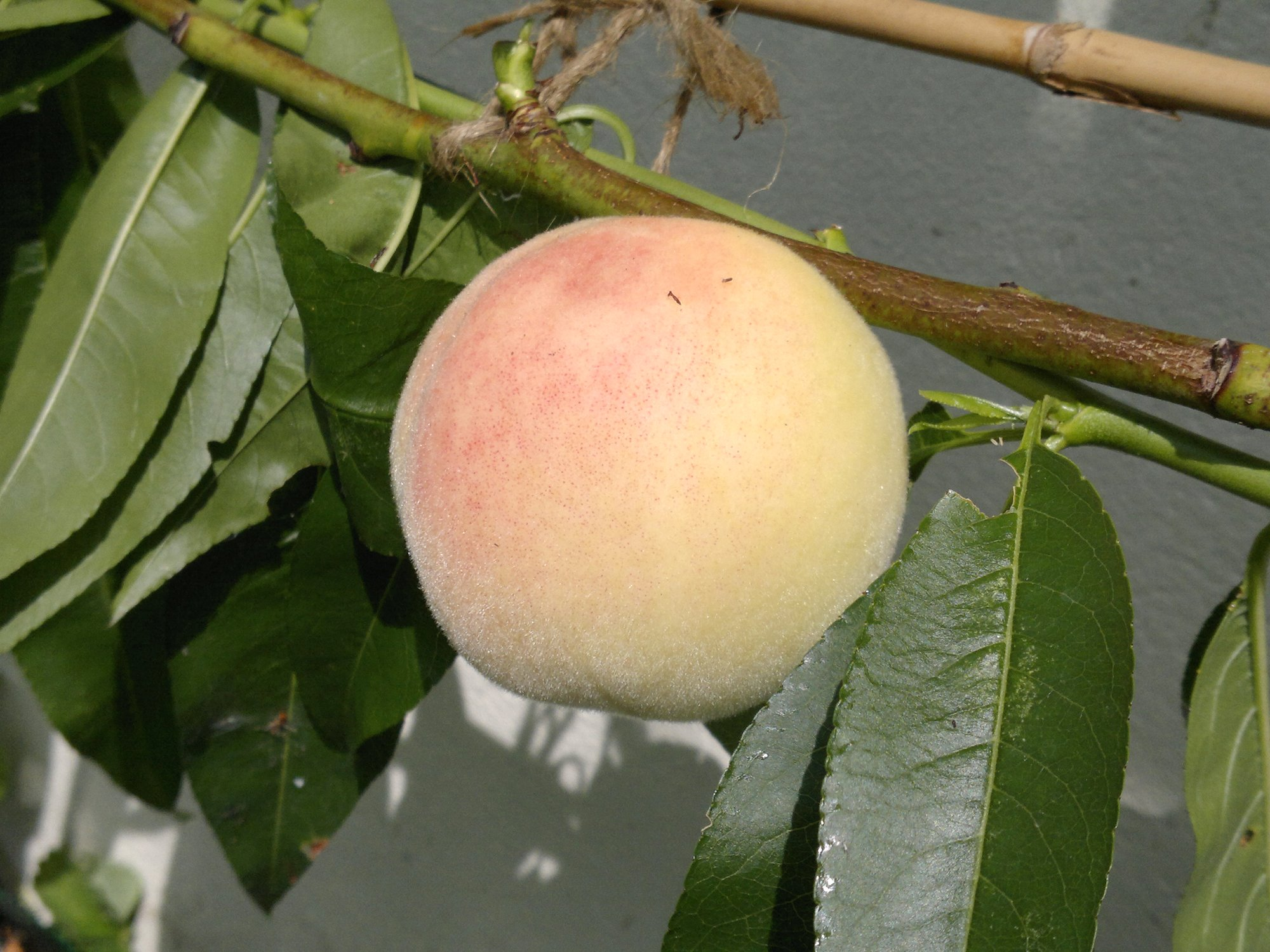 Peach Early Rivers