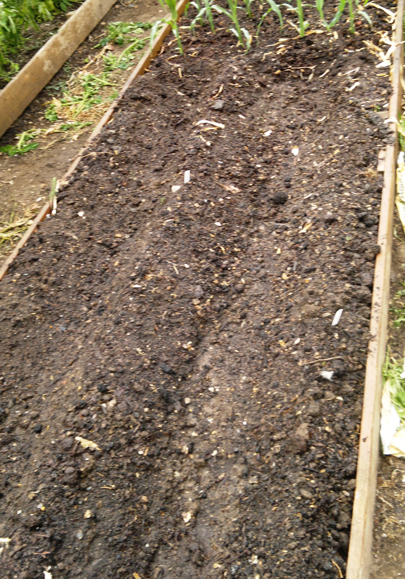 Potatoes planted in polytunnel bed