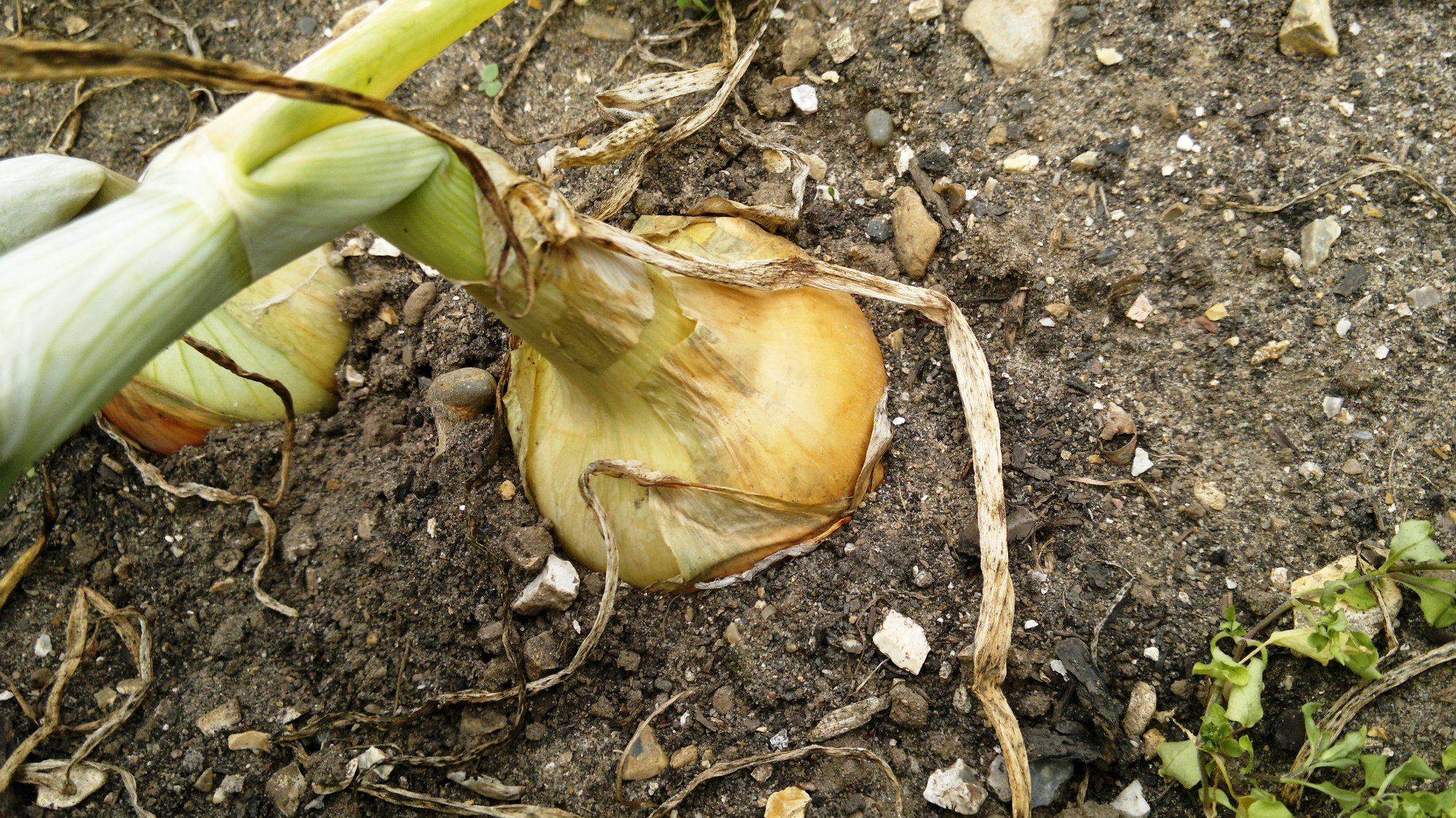 Reasonable bulbs forming amongst the outdoor spring sowing; the necks are a little thick, but may well improve as the stems die back