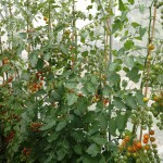 Glasshouse crop of cherry tomatoes