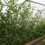 Polytunnel crop