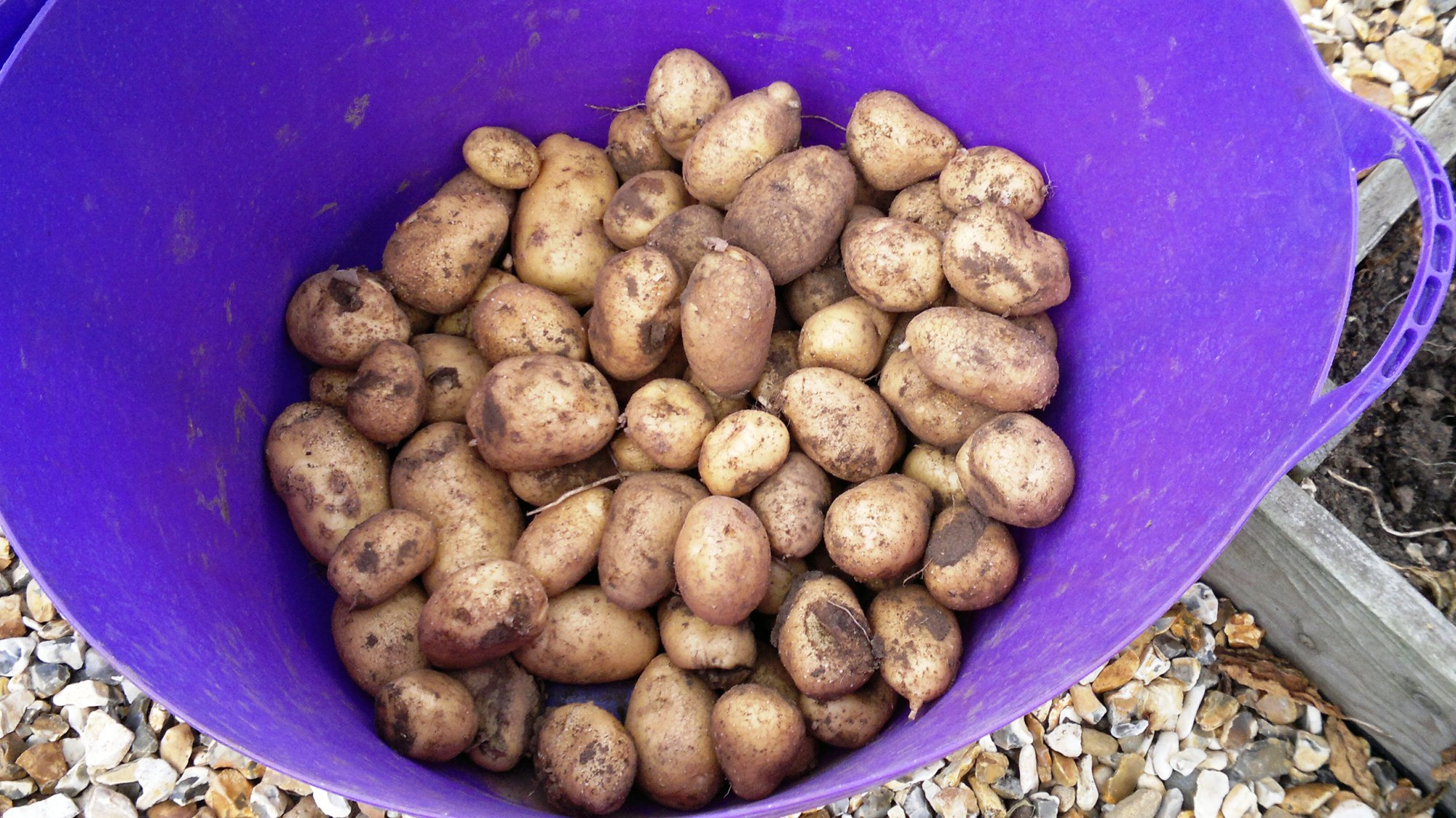 A collection of medium sized tubers from the second potato bed