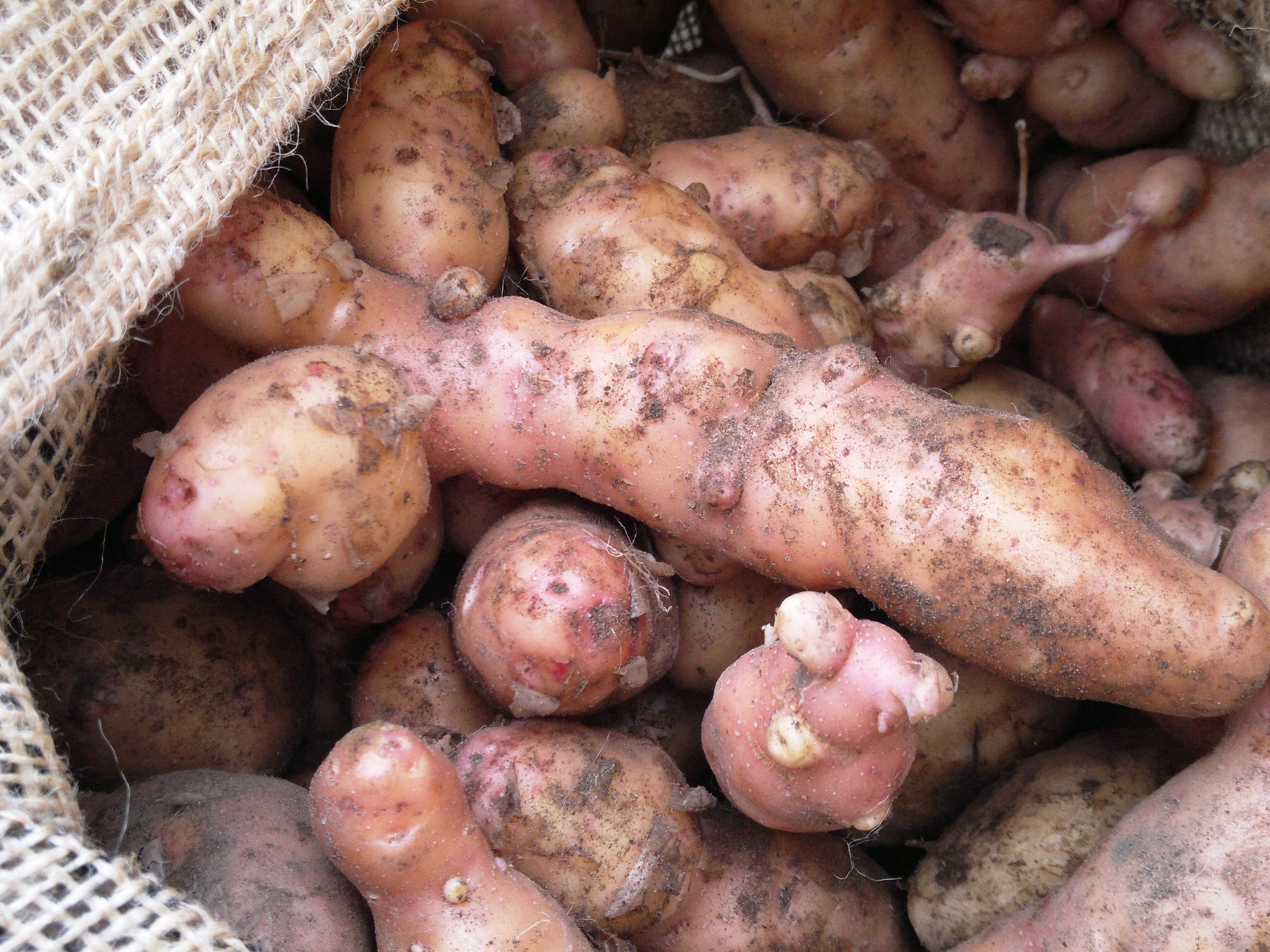 The large, knobbly tubers of Pink Fir Apple