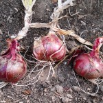 Red onion Red Barron