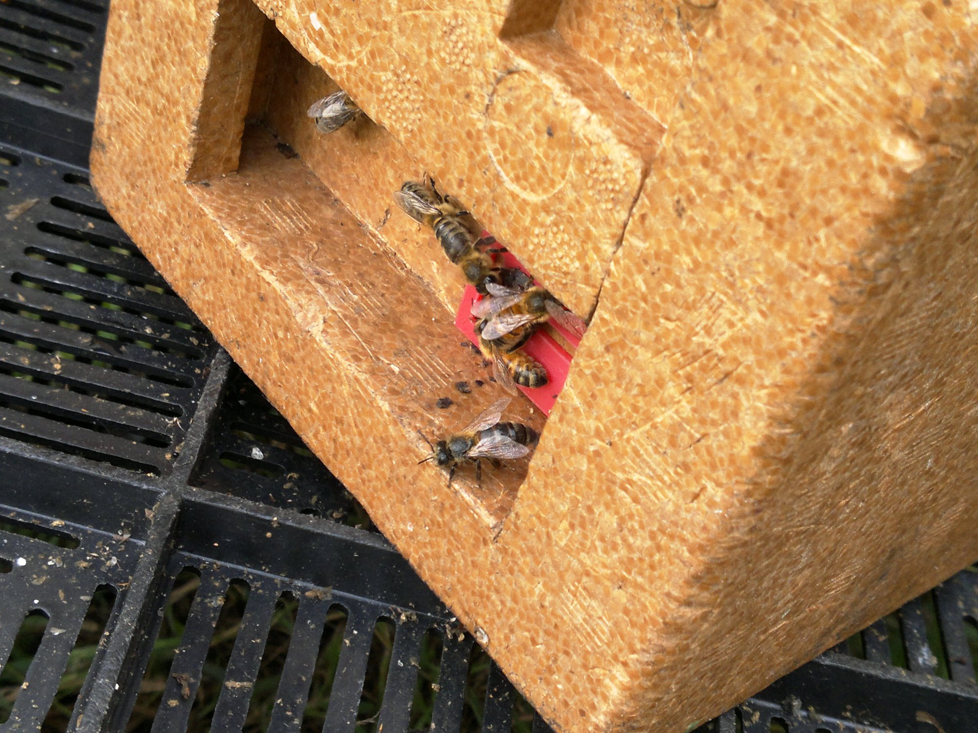 Bees emerging to explore their temporary home for the next few weeks