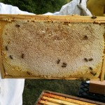 Completed frame of honey; this will be left for the bees to feed on through the winter