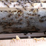 More honey packed away in the top brood box