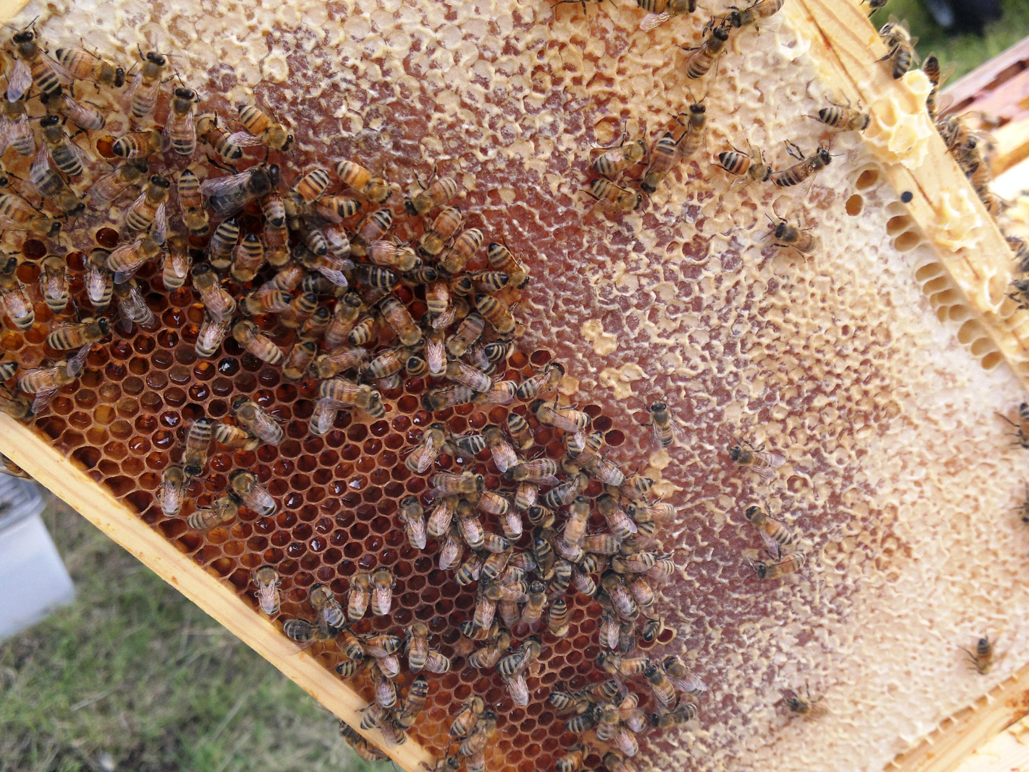 The former brood area on this frame is now entirely taken over by honey and pollen