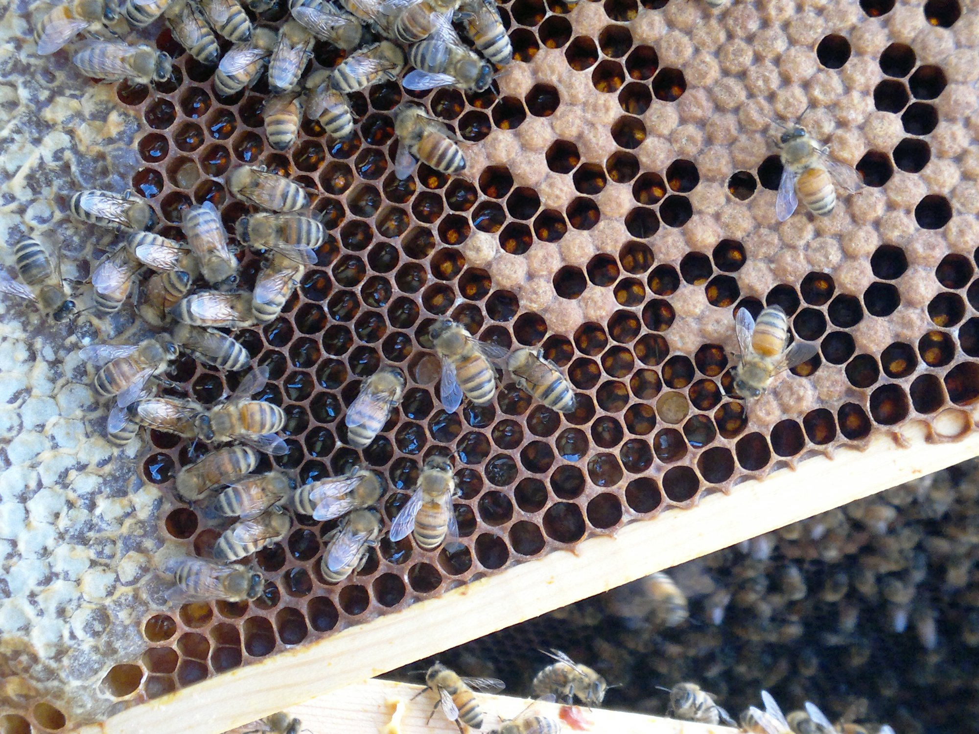 The shrinking brood area being filled with honey and pollen