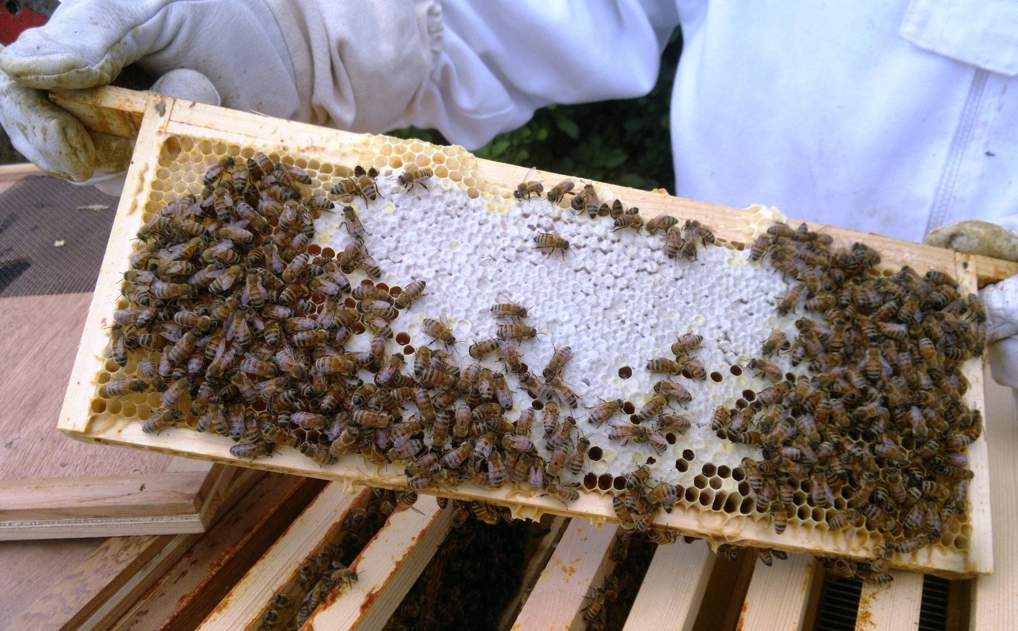 Another super frame almost full of honey