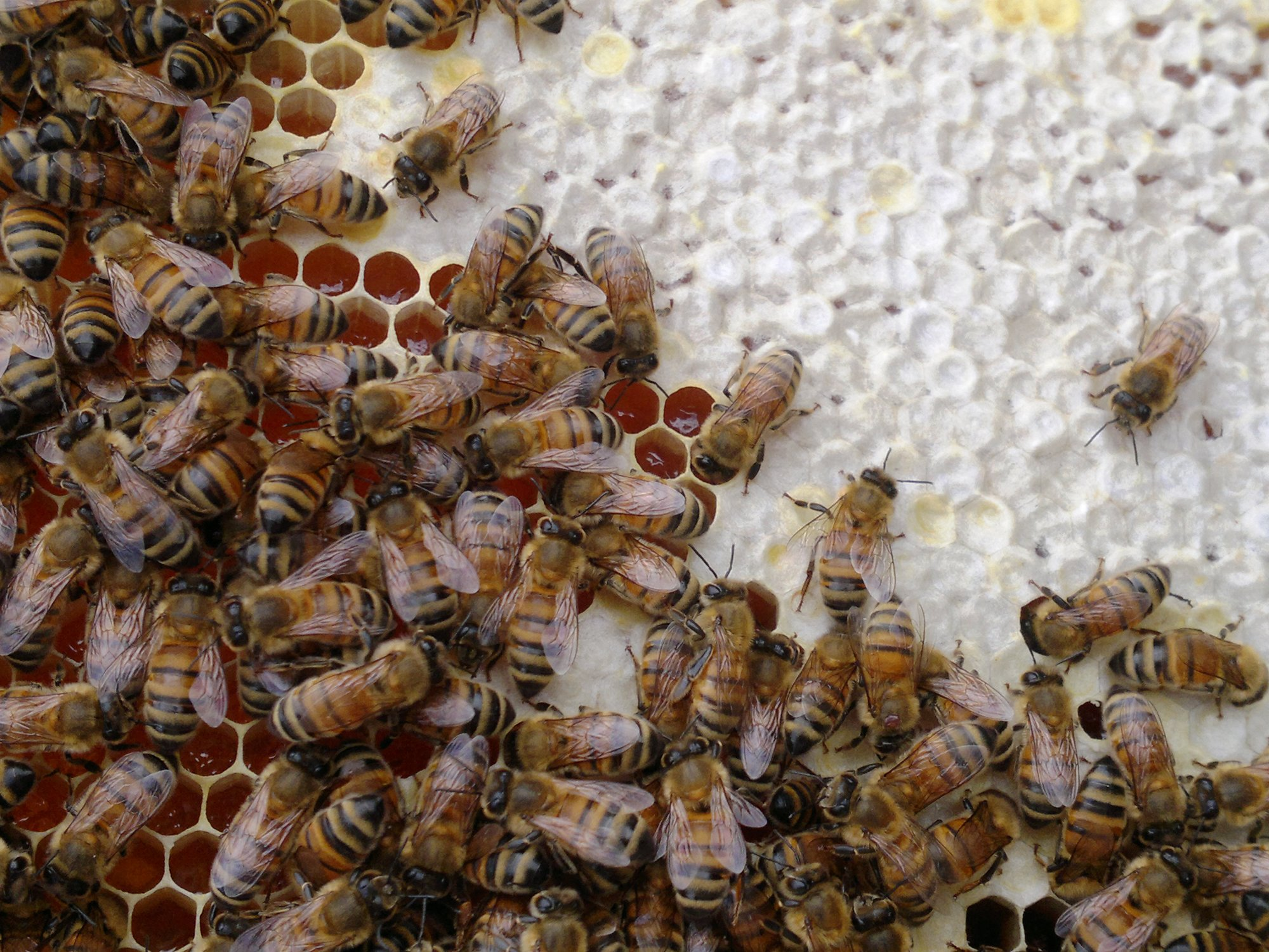 Bees working on the honey comb