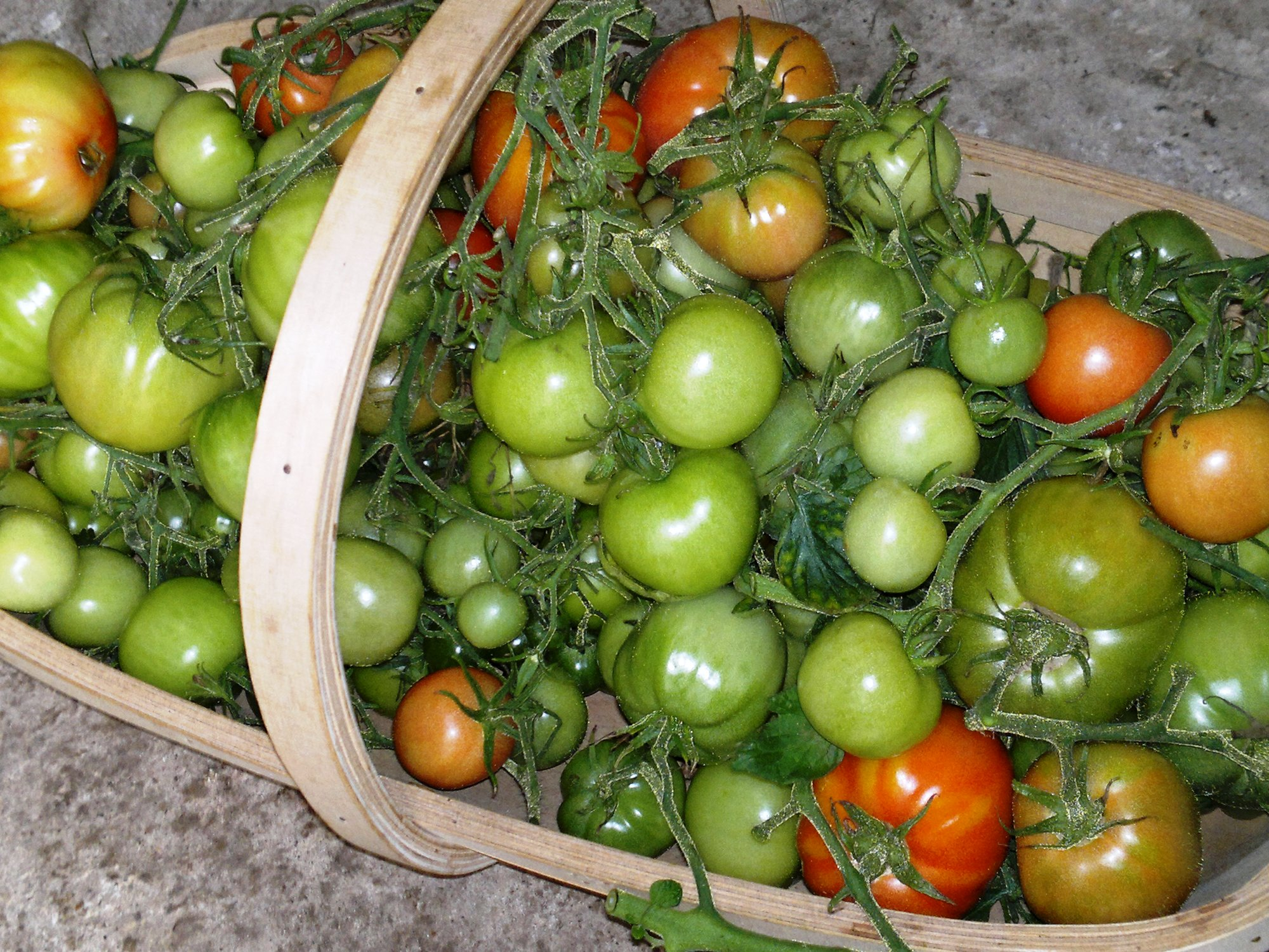 A trug of rescued tomatoes, all in good condition but varying degrees of ripeness