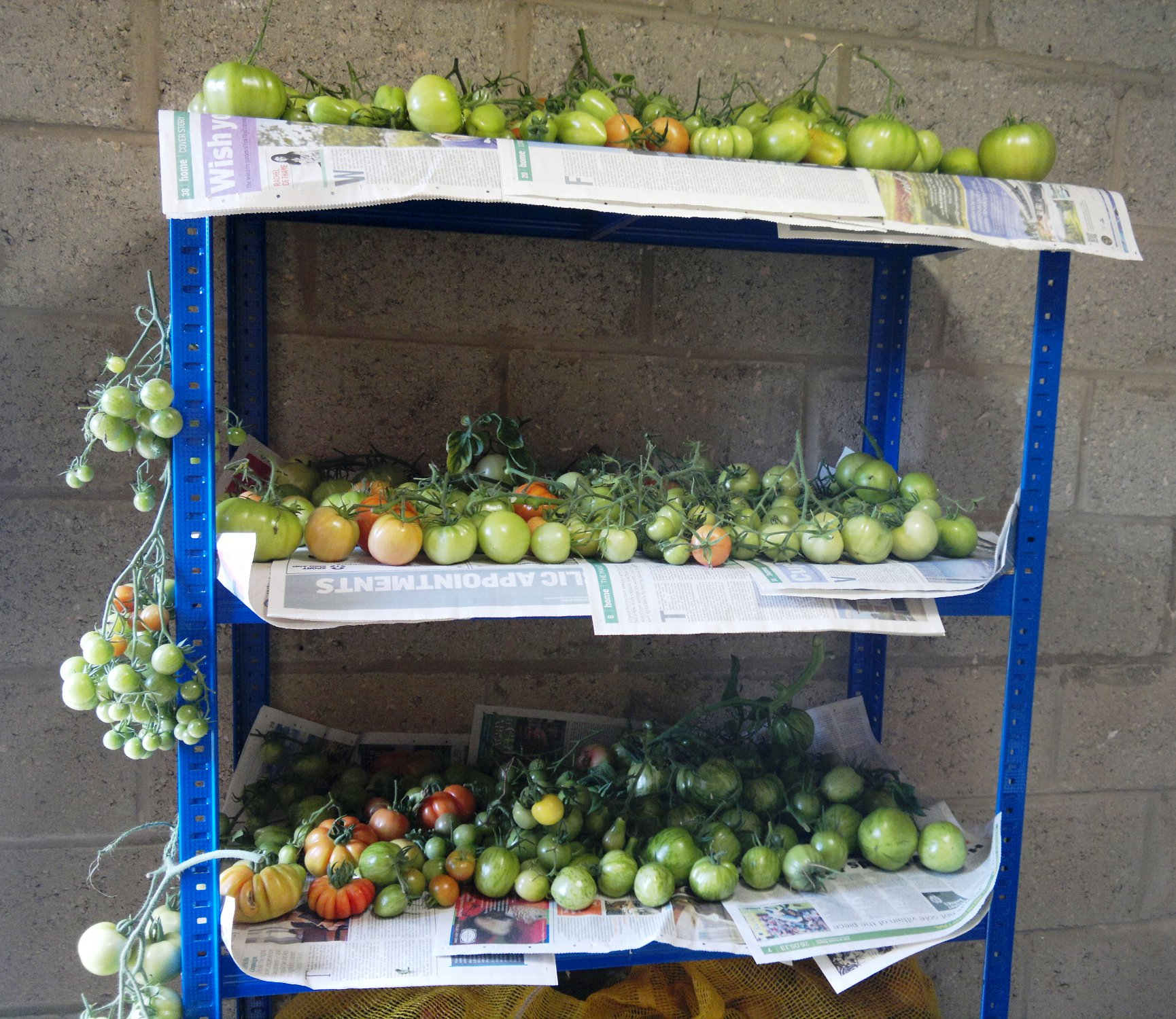 Unripe tomatoes stored for later use