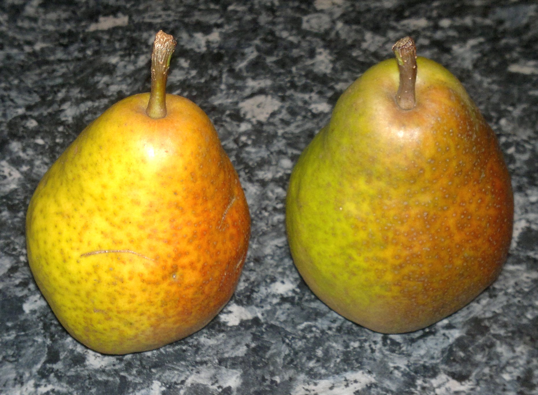 Waiting for the perfect moment - the pear on the left is ripe, whilst the other needs a few more days for the green to turn to golden yellow, and the dull flushing to crimson