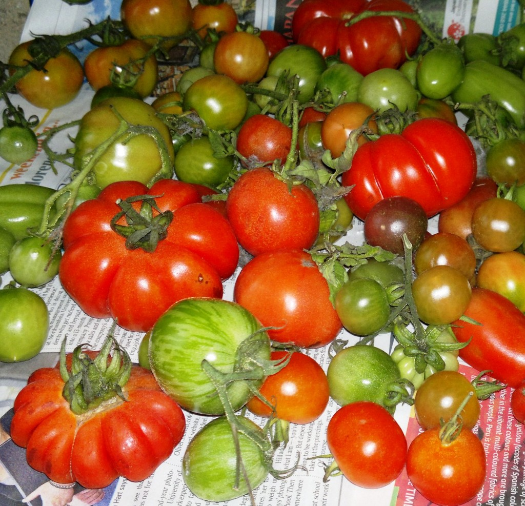 Tomatoes ripening in storage