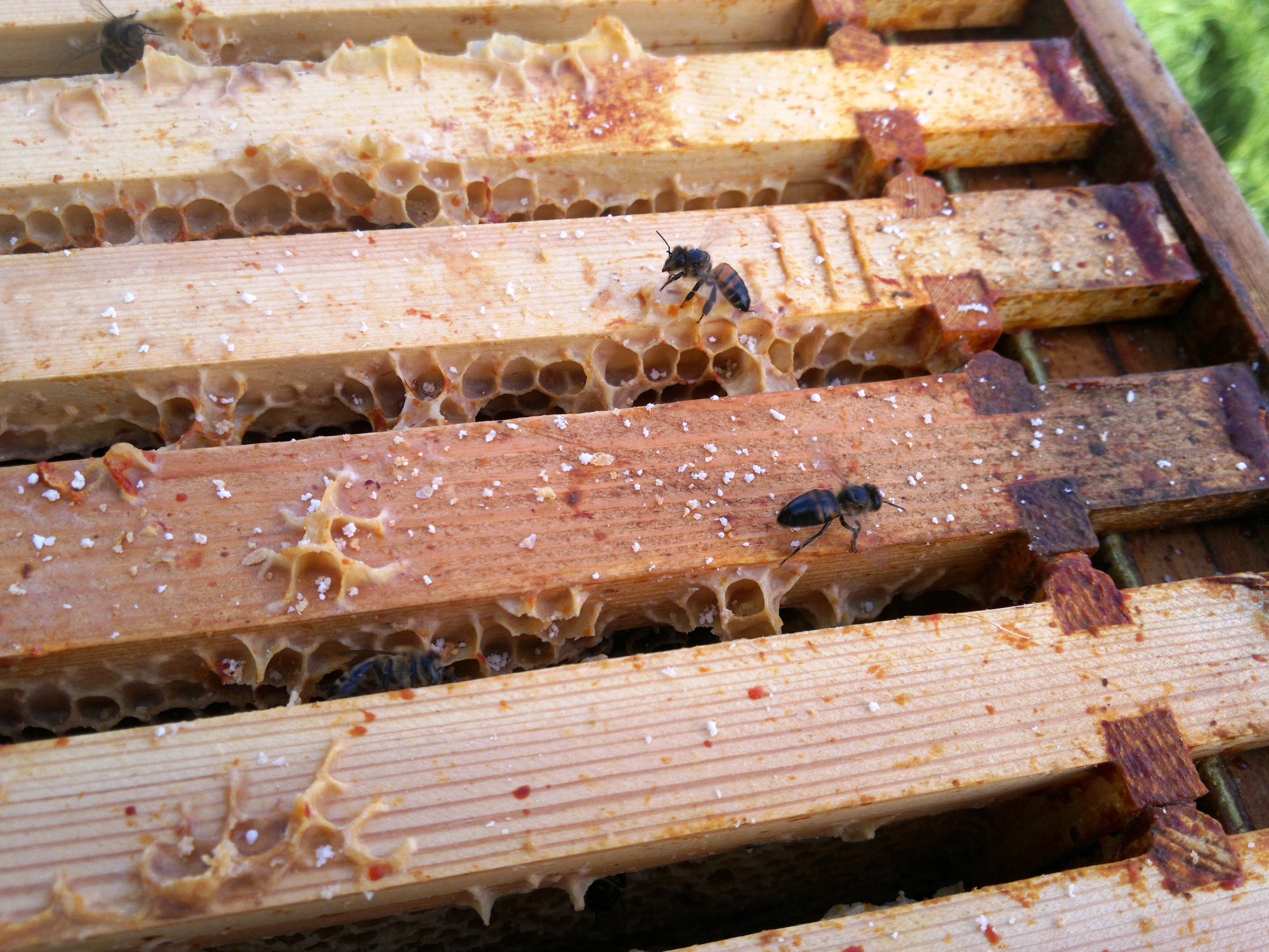 The robbers: we found this unidentified bee clearing out what remains of the honey