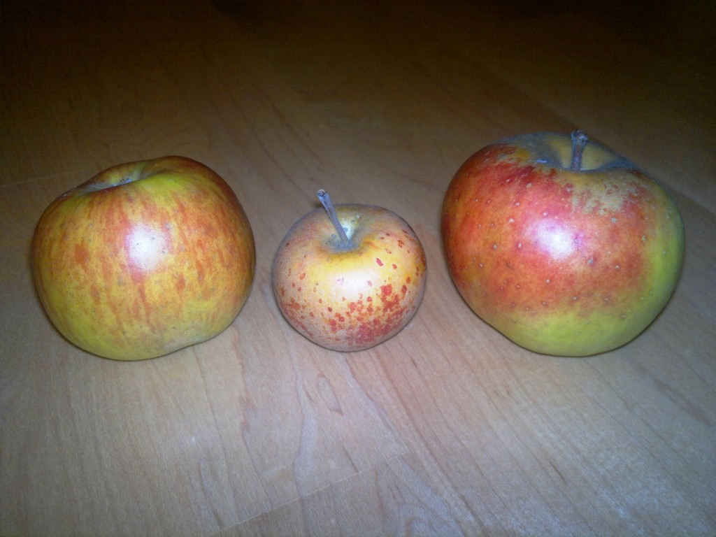 Three fine apple varieties: Ribston Pippin, Norfolk Royal Russet, and Blenheim Orange