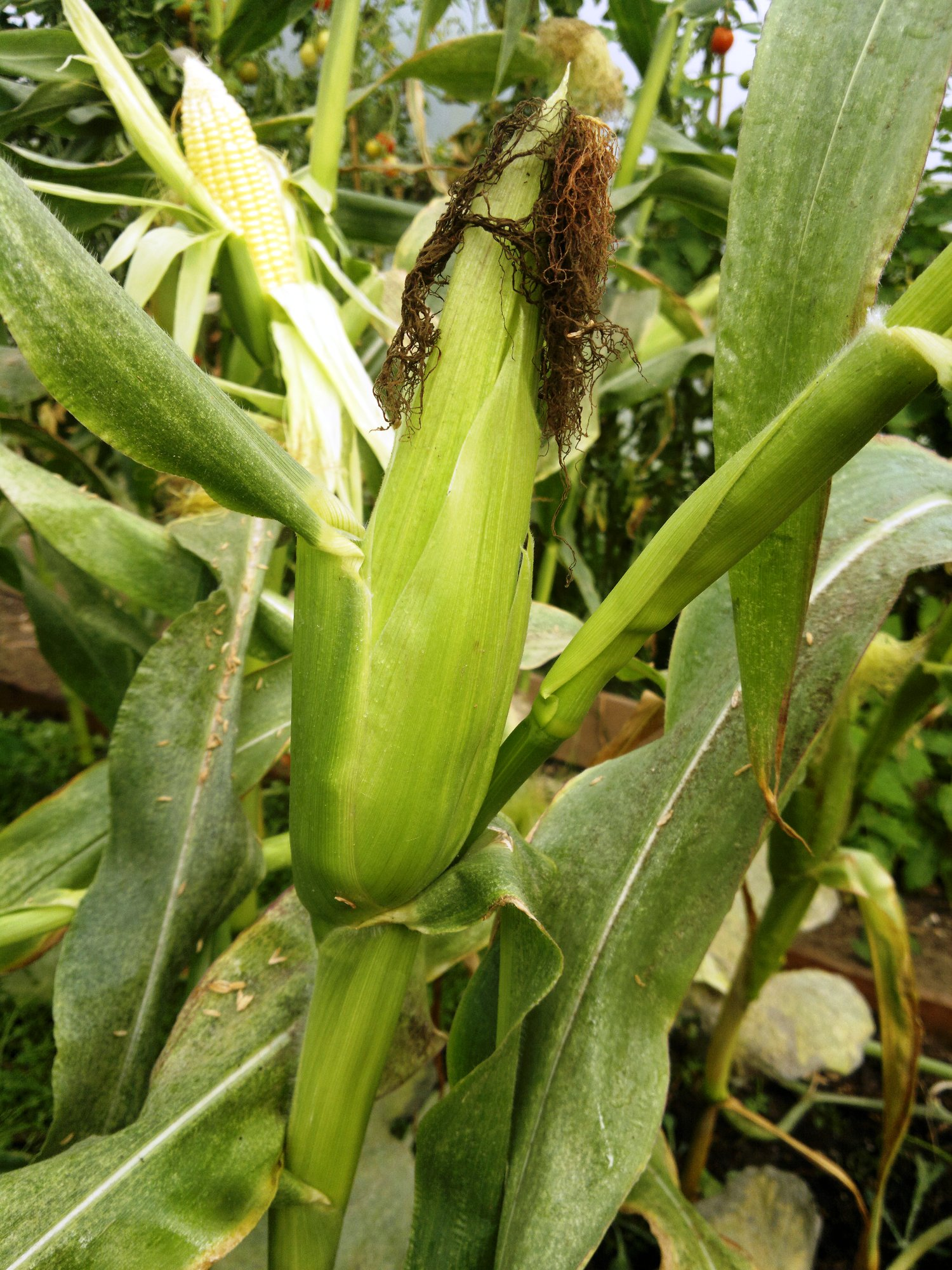 Note how the developing cob has caused the stem to bend