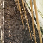 Rows of onion sets laid out in the side beds of the polytunnel