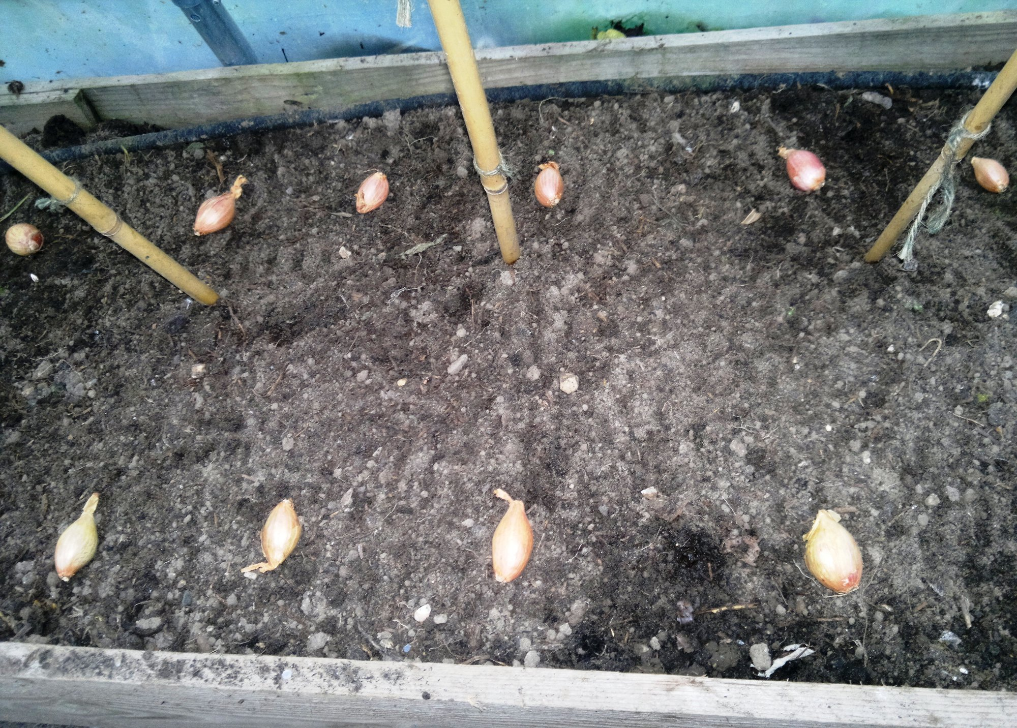 Shallots are given a little more space to develop