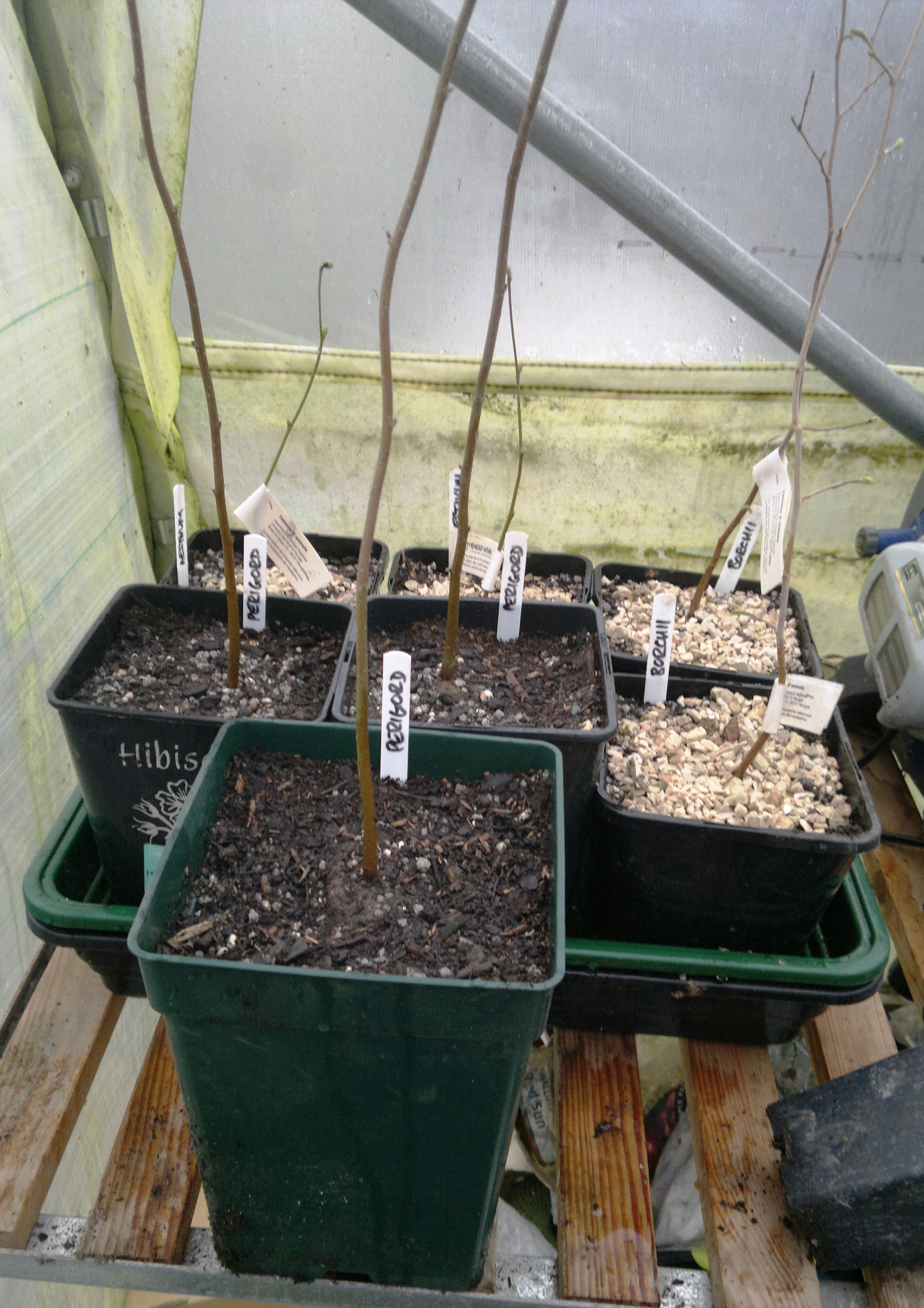 Young truffle saplings potted on