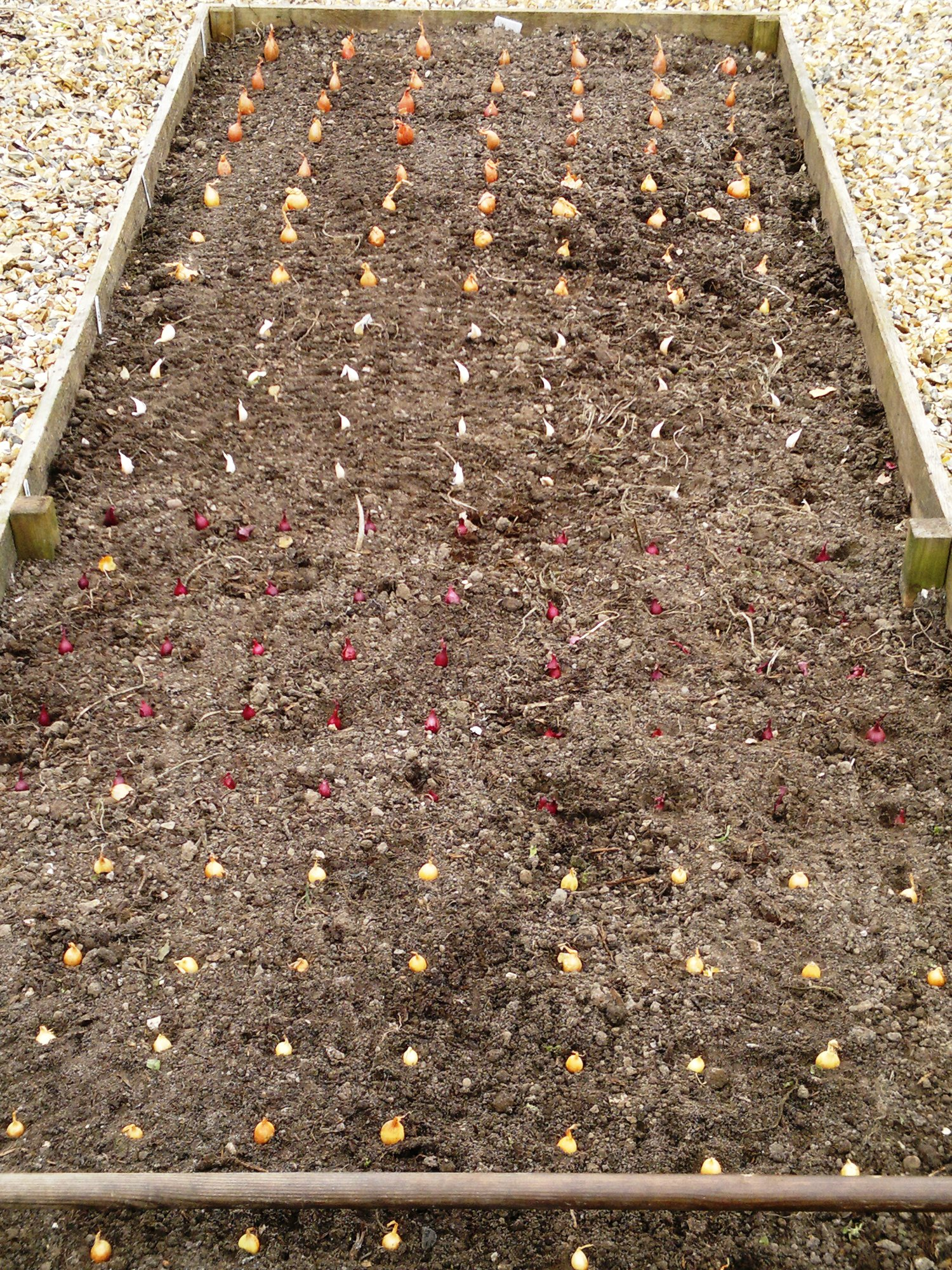 Onions, shallots, and garlic laid out for planting
