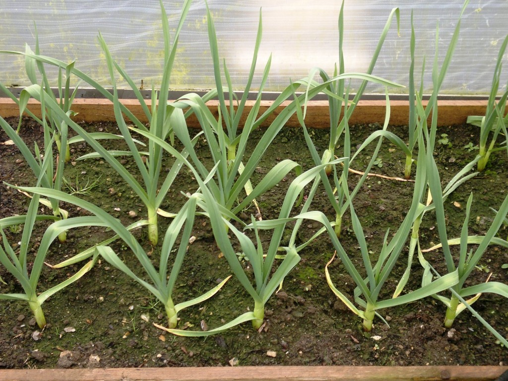 Garlic in the poytunnel growing well