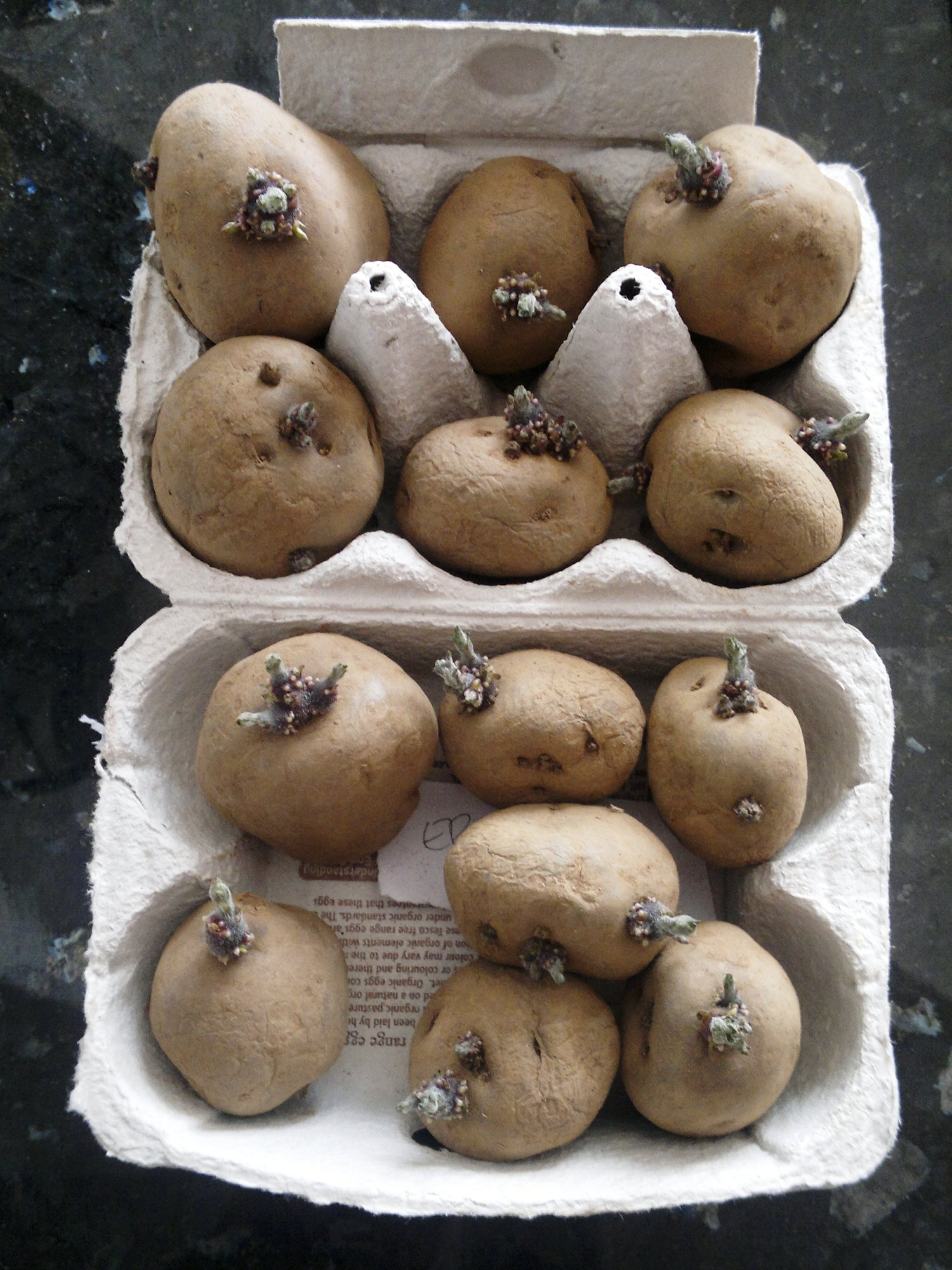 Seed potatoes chitting nicely