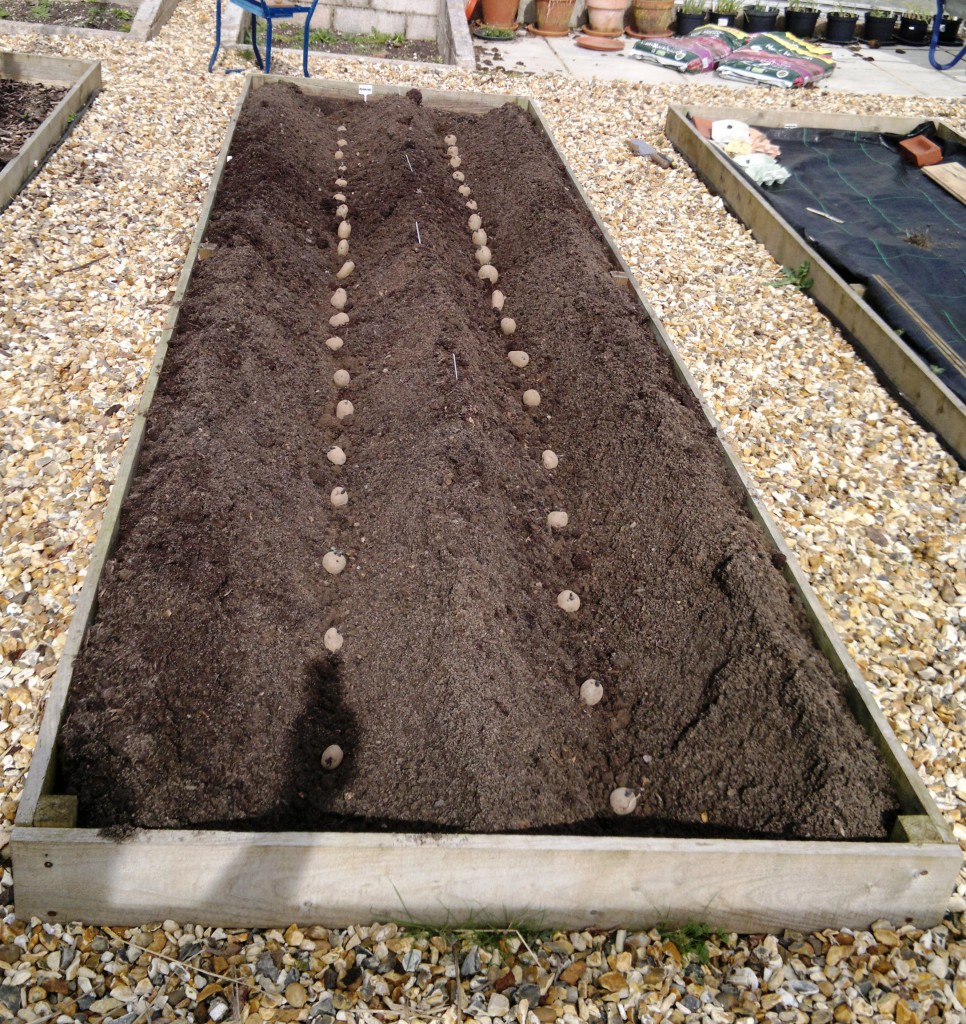 Seed potatoes laid out along the furrows ready for planting