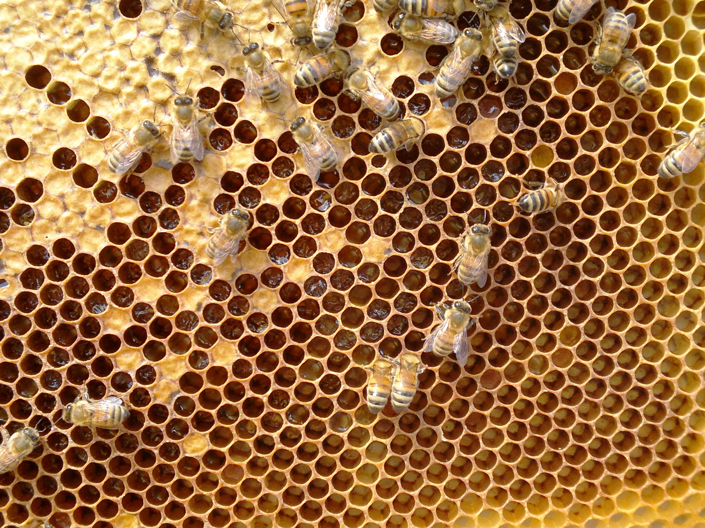 The free space being quickly filled with new honey